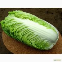 Продам семена пекинской капусты KS 340 F1 (Китано)