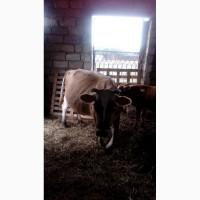 Породам корову