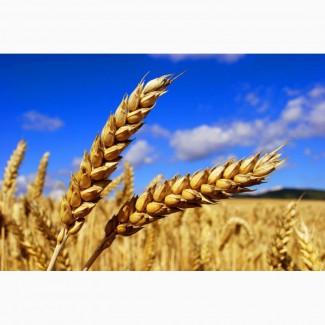 Реализуем пшеницу твердых сортов, сорт DURUM из Казахстана