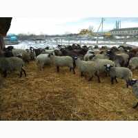 Овцы, Бараны Романовские, Меринос Баку Турция