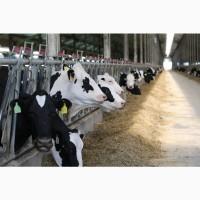 В продаже молочные нетели Черно-пестрой породы