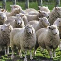Продаём овец Баранов