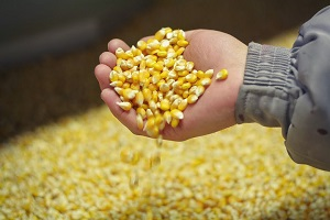 Фото 3. Кукуруза - прямые ЖД поставки в Азебайджан