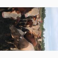 Крс бычки
