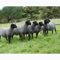 Предоставляем на экспорт с Украины - МРС (овцы, ягнята) живой вес