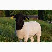 Племенные овцы Дорпер Элита и Элита Рекорд