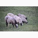 Куплю овец ягнять Романовской породы оптом