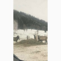 КРС, кони, овечки, маралы