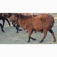 Племенные овцы породы Эдильбаевская (из Европы класса Элита и Элита Рекорд)