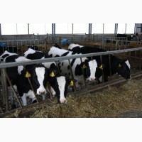 Продам живой скот, мясо заморозка и охлажденное, говядина, телятина, баранина, халяль