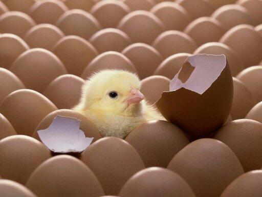 Фото 2. Цыплята серебристы
