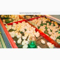 Цыплята серебристы