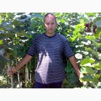 Продам саженцы фундука привитые на медвежем орехе