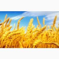 Семена озимой пшеницы, ячменя и тритикале из Краснодарского края