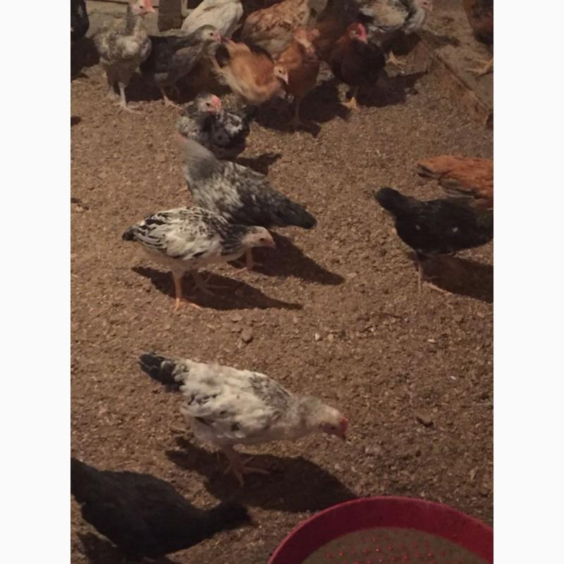 Куры цыплята