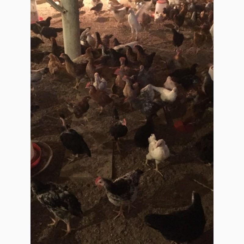 Фото 4. Куры цыплята