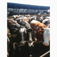 КРС и мясная продукция