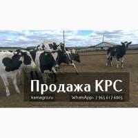 Продажа на племенных чистопородных молочных нетелей и телок Голштино-Фризской породы