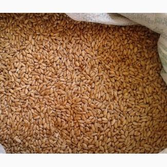 Пшеница #3 класса DAP Самур, AZ